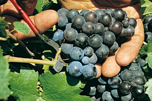 Grappe raisin