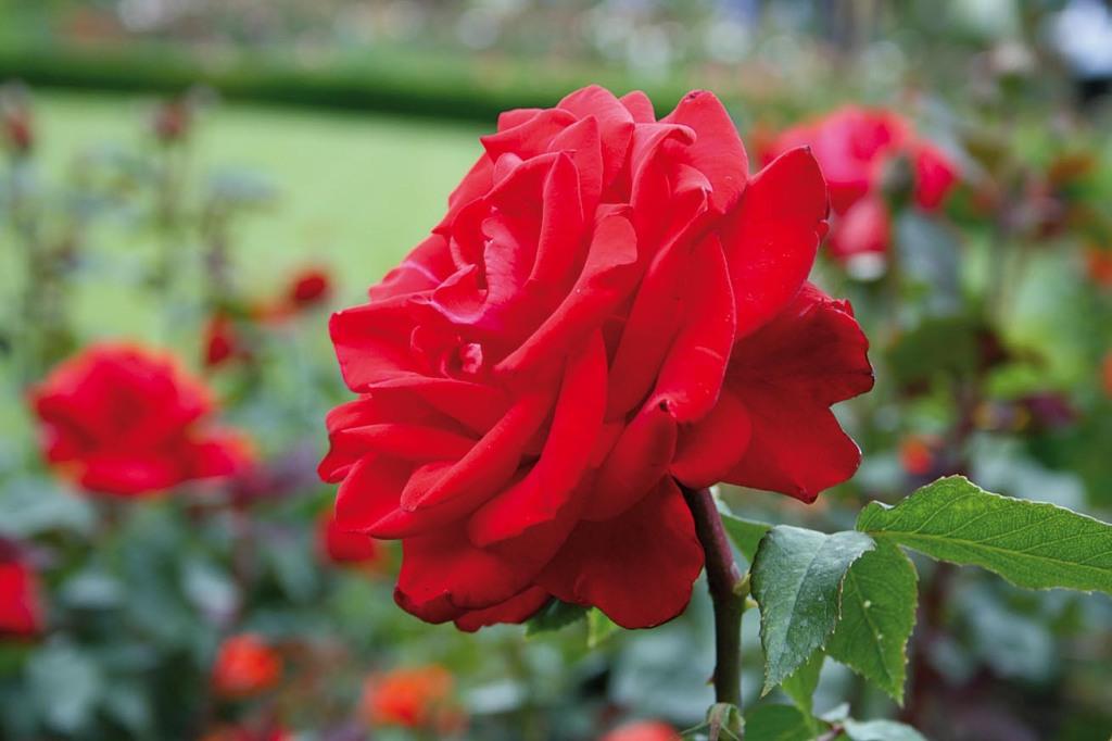 Rosenpracht in den Butchart Gardens