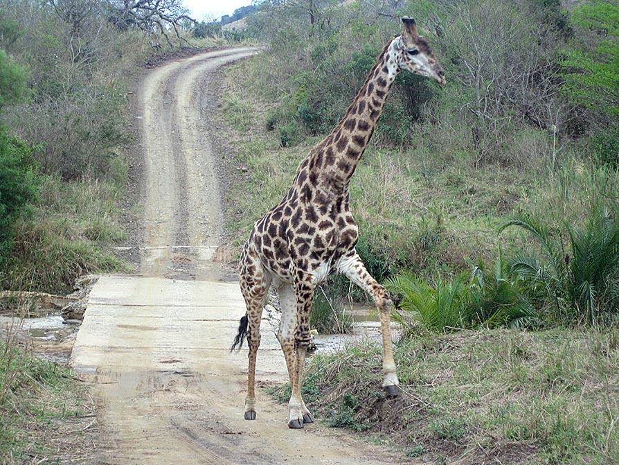 Tierische Verkehrsteil-nehmer wie Elefanten,  Giraffen oder Nashörner gibt es auf allen Straßen oder Pisten in den Wildparks und im Zweifelsfall empfiehlt es sich, zumindest anzuhalten oder sogar den Rückwärtsgang einzulegen.